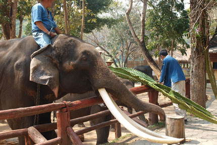 im Thai Elephant Conservation Center Februar 2016
